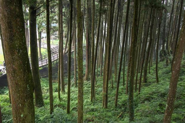 Duży drzewo przy alishan parka narodowego terenem na tajwan.