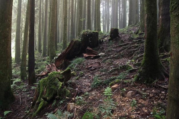 Duży drzewo przy alishan parka narodowego terenem w tajwan