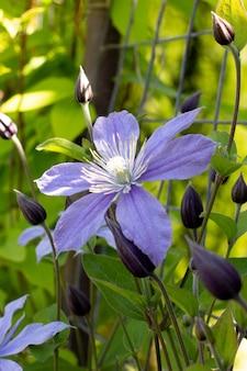 Duży fioletowy, fioletowy kwiat w ogrodzie,