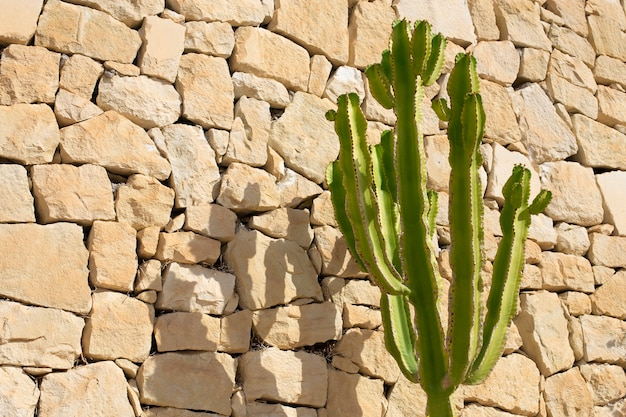 Duży kaktus kardon na tle kamiennego muru. skopiuj miejsce.