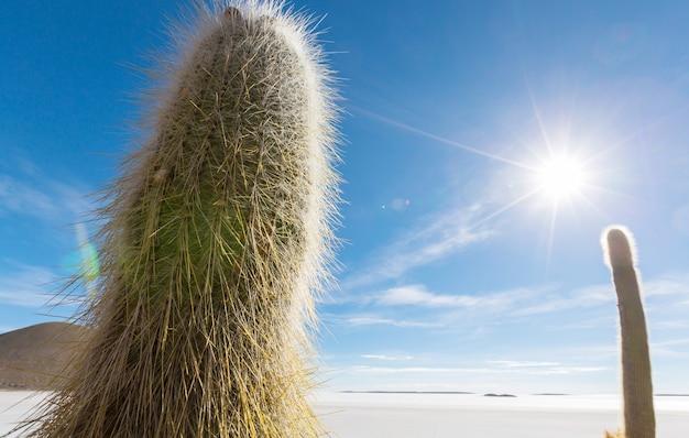 Duży kaktus na wyspie incahuasi, solnisko salar de uyuni, altiplano, boliwia