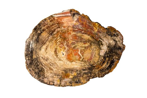 Duży kawałek polerowanego, skamieniałego drewna, na białym tle