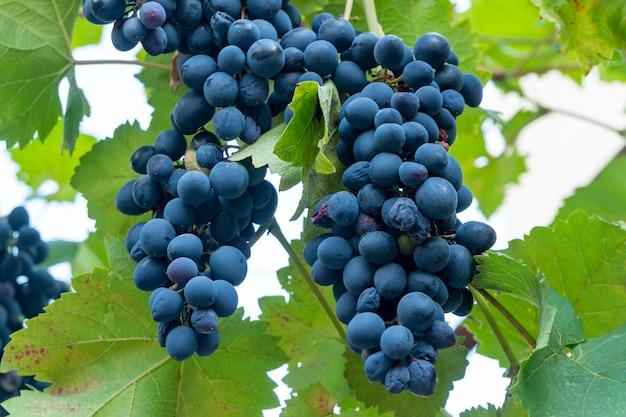 Duży kiść winogron aladasturi powiesić z winorośli, zamknij się z czerwonych winogron