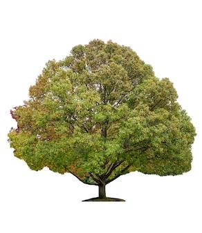 Duży klon z zielonymi, pomarańczowymi liśćmi na jesień. na białym tle