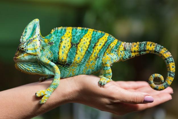 Duży kolorowy kameleon siedzi na żeńskiej ręce, na tle zieleni, egzotycznego zwierzęcia