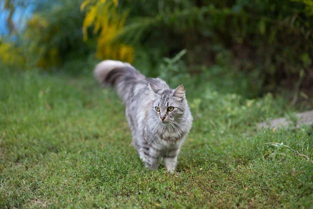 Duży kot podobny do mei-kuna na spacerze wśród kwiatów w lecie. zwierzęta w lecie w domku. przestraszony kot odwrócił się.