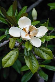 Duży, kremowy biały kwiat magnolii południowej jest otoczony błyszczącymi zielonymi liśćmi drzewa.