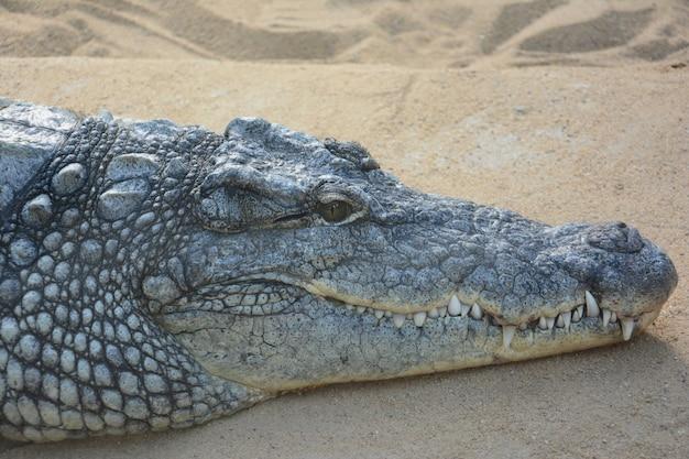 Duży krokodyl na piasku z ogromnymi zębami