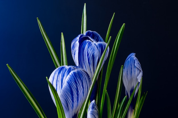 Duży krokus krokus sativus vernus kwitnie z niebieskimi żyłami na ciemnym niebieskim tle. modne kolory kart na dzień matki, walentynki 2020.