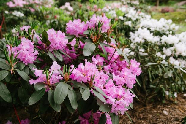 Duży krzew kwitnący różanecznik w ogrodzie botanicznym