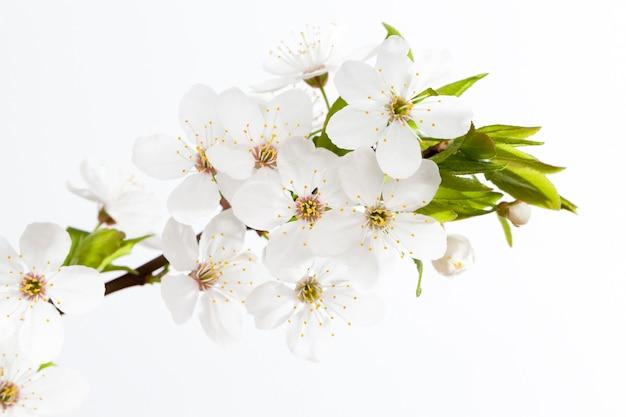 Duży kwiatostan białych kwiatów wiśni w okresie wiosennym, na jasnym tle.