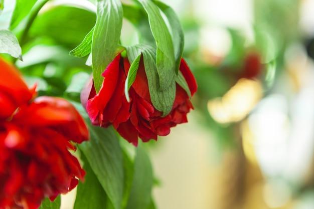 Duży kwitnący czerwony peonia kwiat w wiośnie. pozdrowienia z okazji dnia matki