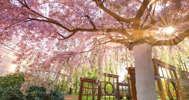 Duży kwitnący sakura w parku, widok z dołu. promienie słoneczne przebijają się przez gałęzie drzewa.