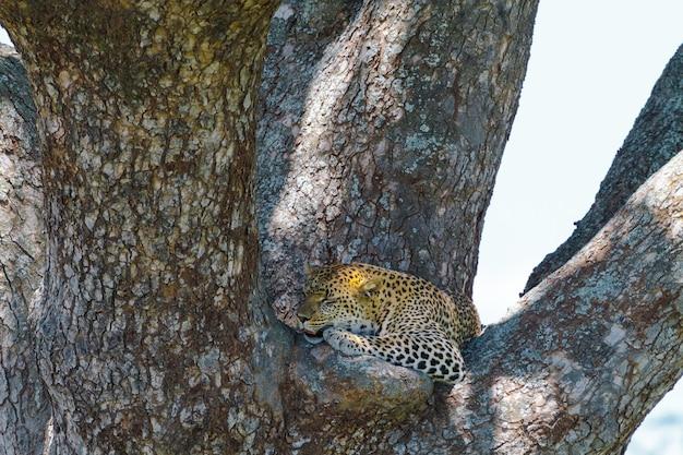 Duży łaciaty kot odpoczywa na gałęzi drzewa. afrykański lampart z serengeti w tanzanii