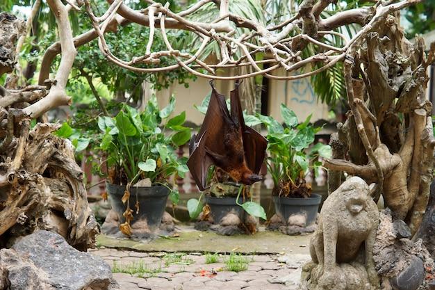 Duży latający lis lub nietoperz owocowy zwisający do góry nogami z pnączy w tropikalnym ogrodzie