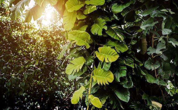 Duży leafe bluszcz housplant na gigantyczne drzewo w dżungli