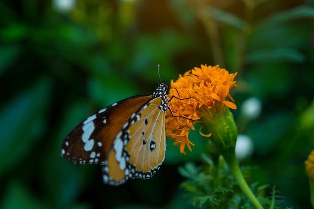 Duży motyl siedzi na zawilce piękny żółty kwiat świeży wiosenny poranek na charakter