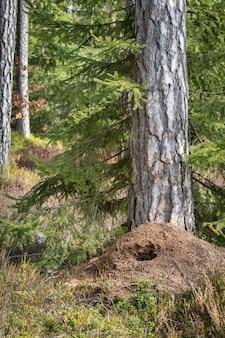 Duży mrowisko w lesie sosnowym wiosną, zniszczone przez dzięcioła zielonego polującego na żywność zimą. obraz pionowy.