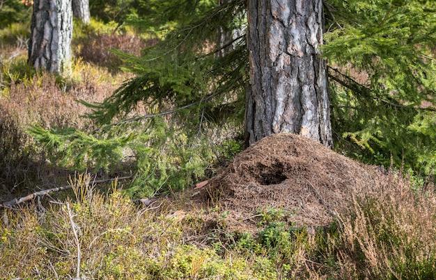 Duży mrowisko w lesie sosnowym wiosną, zniszczone przez dzięcioła zielonego polującego na żywność zimą