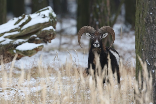Duży muflon europejski w lesie dzikie zwierzę w naturalnym środowisku czechy
