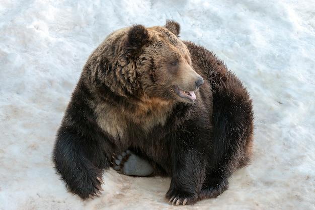 Duży niedźwiedź brunatny siedzi na białym śniegu