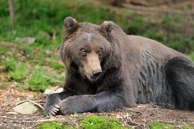 Duży niedźwiedź brunatny (ursus arctos) w środowisku
