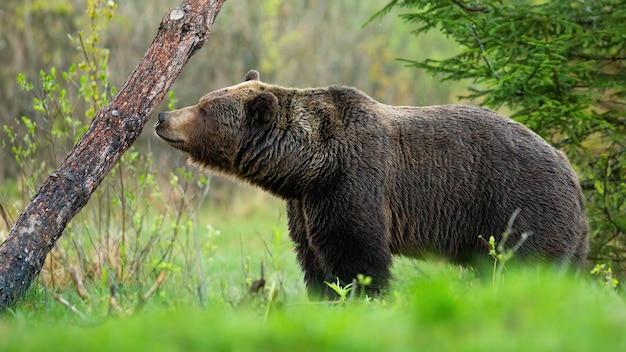 Duży niedźwiedź brunatny, ursus arctos, węszy drzewo i zaznacza swoje terytorium w wiosennym lesie. dziki ssak w pustyni pachnie nosem z boku. dzika przyroda na pustyni.