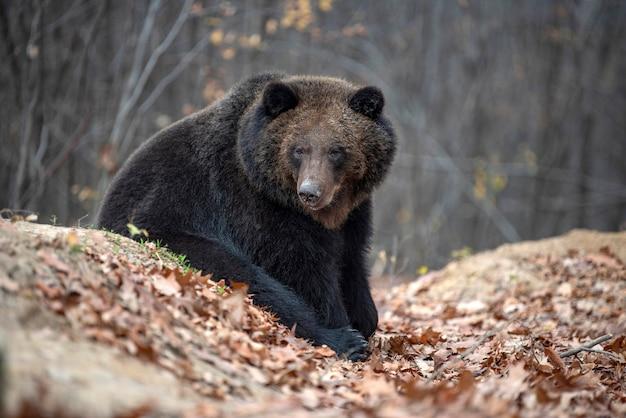 Duży niedźwiedź brunatny w lesie jesienią