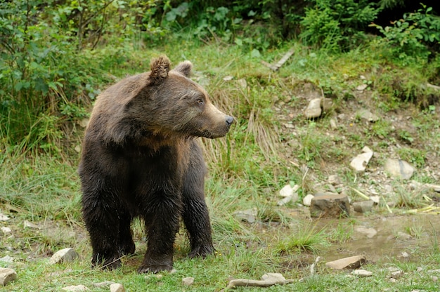 Duży niedźwiedź brunatny w lesie latem