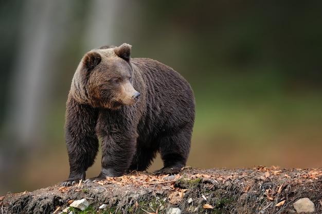 Duży niedźwiedź brunatny w naturalnym środowisku. scena dzikiej przyrody z natury. niebezpieczne zwierzę w przyrodzie