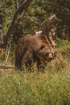Duży niedźwiedź grizzly idzie w kierunku z otwartymi ustami