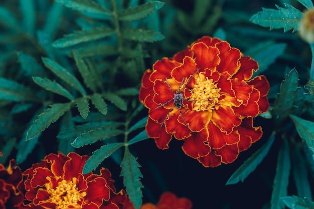 Duży pająk na czerwony kwiat nagietka w ogrodzie