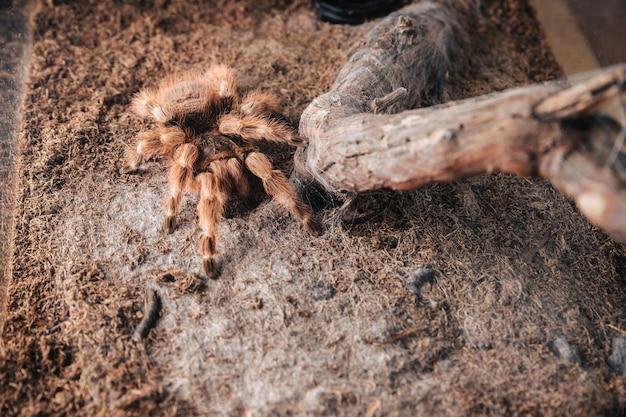 Duży pająk tarantuli na glinianej pokrywie w terrarium.