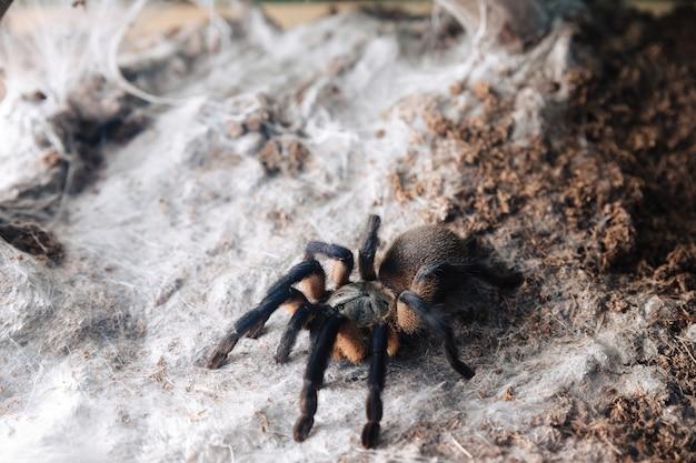 Duży pająk tarantuli na glinianej powierzchni.