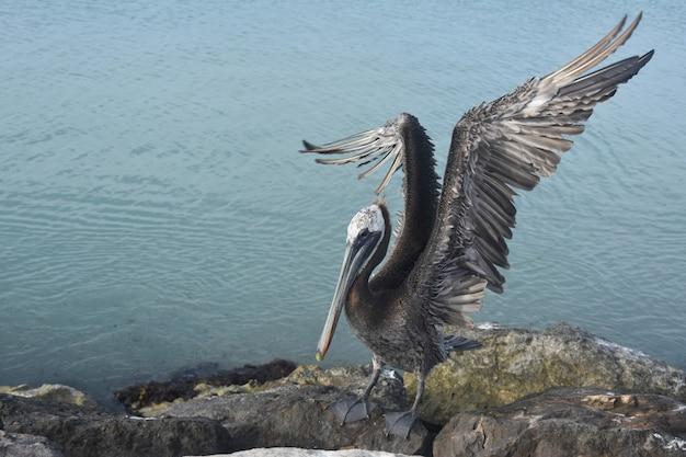 Duży pelikan z rozpostartymi skrzydłami stojąc na skałach.