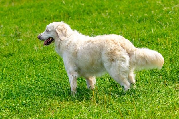 Duży piękny pies rasy golden retriever podczas spaceru po parku przy słonecznej pogodzie