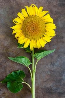 Duży piękny słonecznik na rocznik powierzchni. rolnictwo do produkcji ropy.