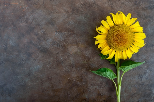 Duży piękny słonecznik na rocznika tle. rolnictwo do produkcji ropy. jesieni tło z słonecznikiem. wolne miejsce na twój projekt.