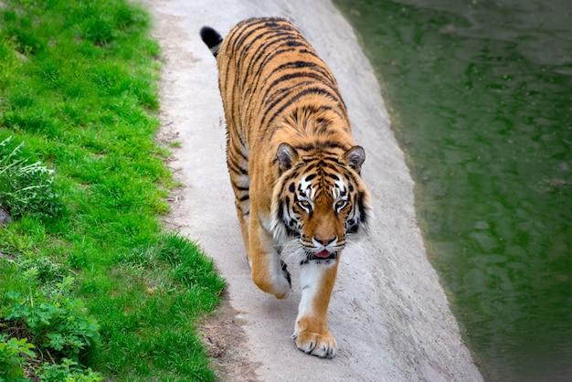 Duży piękny tygrys syberyjski chodzić. symbol chińskiego nowego roku 2022