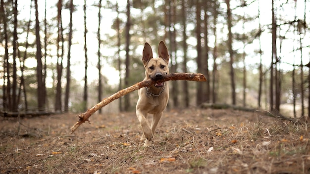 Duży pies bawi się kijem w lesie.