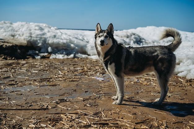 Duży pies husky na zaśnieżonej plaży w zatoce fińskiej ochrona koncepcji zwierząt saintpetersburg rosja