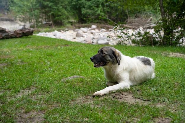 Duży pies odpoczywa na trawie