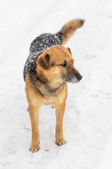Duży pies stróżujący z bliska zimą pokryty śniegiem, portret psa