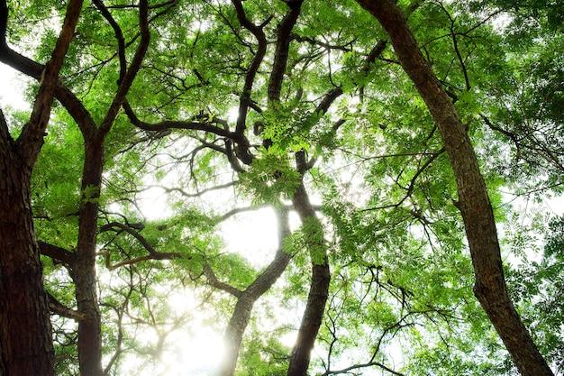Duży podeszczowy drzewo z światłem słonecznym, widok spod spodu, natury tło (samanea saman).