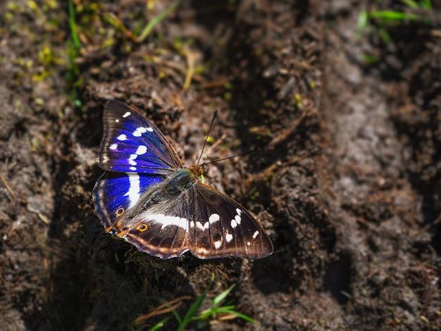 Duży pomniejszy motyl purpurowego cesarza (apatura ilia) siedzi na ziemi w słoneczny letni dzień