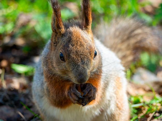 Duży portret wiewiórki siedzącej na zielonej trawie w parku w słoneczny wiosenny dzień. ścieśniać