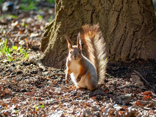 Duży portret wiewiórki siedzącej na zielonej trawie w pobliżu drzewa w parku w słoneczny wiosenny dzień