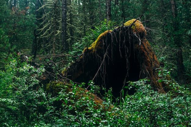 Duży powalony korzeń drzewa porośnięty gęstym mchem na pustyni tajgi