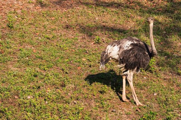 Duży ptak struś w ogrodzie