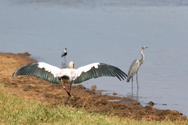 Duży ptasi marabut rozłożył skrzydła do wyschnięcia
